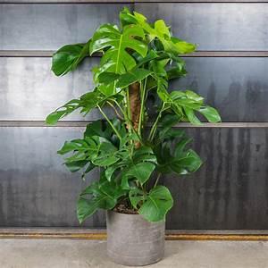 Plante De Salon : remplacer sapin de no l par une plante verte elle d coration ~ Teatrodelosmanantiales.com Idées de Décoration