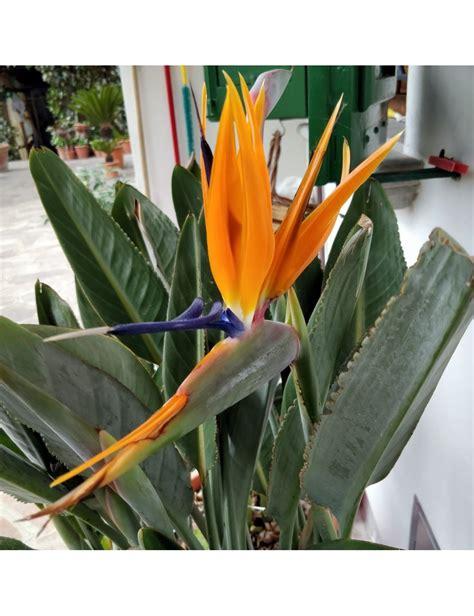 fiore sterlizia sterlizia uccello paradiso vaso 24 cm vendita
