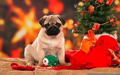 Christmas Wallpapers Pug Dog