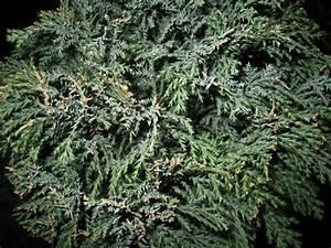 Koniferen Werden Braun : buxbaum krankheiten buchsbaum sch dlinge buchsbaum ~ Lizthompson.info Haus und Dekorationen