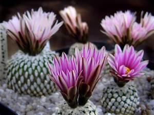 Sukkulenten Arten Bilder : kakteen arten 10 kakteen arten die sie beeindrucken ~ Lizthompson.info Haus und Dekorationen