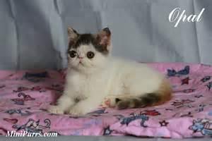 miniature cats for miniature teacup kittens car interior design