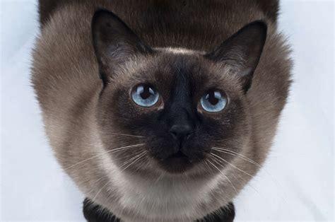 tonkinese cat cat breeds encyclopedia