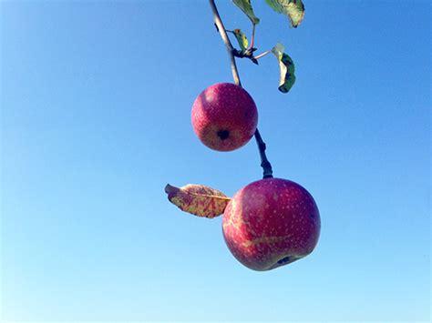 welke fruitboom in de tuin welke fruitboom staat in uw tuin de torrekoel