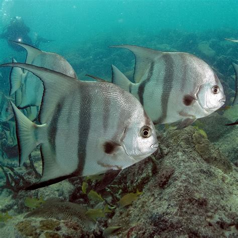 atlantic spadefish wikipedia