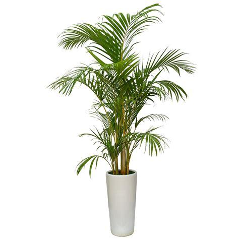 areca palm areca palm tree