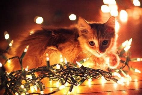 cat by glow of christmas lights merry christmas pinterest