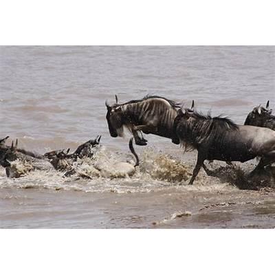Connochaetes taurinus – blue wildebeestpgcps mess