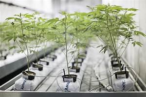 Guide On Hydroponics Marijuana Growing