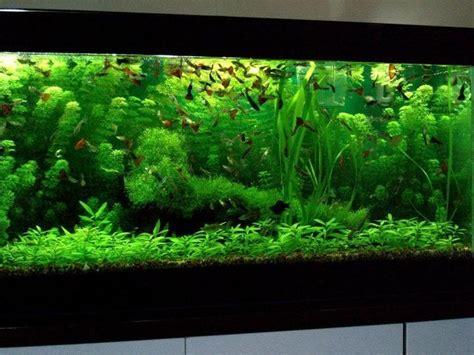 plantes aquarium eau douce comment choisir les plantes d un aquarium d eau douce animogen