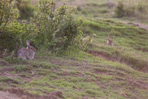 cuisiner un lapin de garenne comment photographier les lapins de garenne