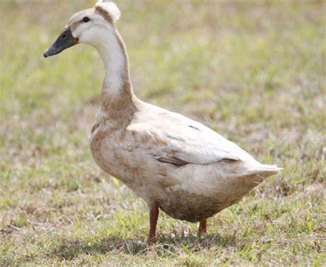 Albino Duck Or Domestic Duck