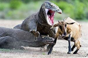 Un touriste attaqué par un dragon de Komodo en Indonésie