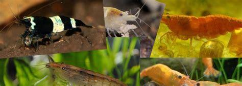 crevette aquarium a vendre 28 images de mon 233 levage de crevette page 1 echange mes