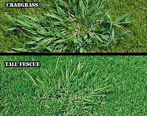 Image Gallery tall fescue