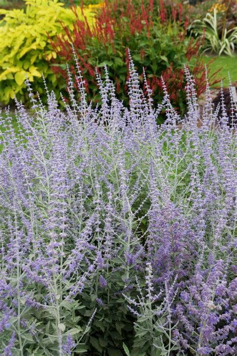 russian plant russian sage perovskia atriplicifolia silvery blue from growing colors