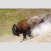 American Bison ...