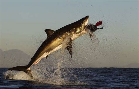 Hout Bay South Africa Boat Attack 2013 by This World We Live In The Great White Shark Vs