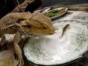 Bearded Dragon Eating Fish