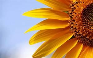 Sunflowers 21578 1920x1200 px ~ HDWallSource.com