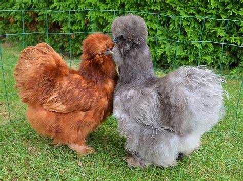 comment cuisiner une perdrix poule soie wikipédia