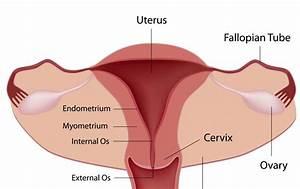 Diagram Of Ovaries And Fallopian Tubes