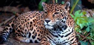A Woman Crossed A Barrier To Get A Selfie With A Jaguar At ...  Jaguar