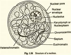 A Neat Labelled Diagram Of Nucleus
