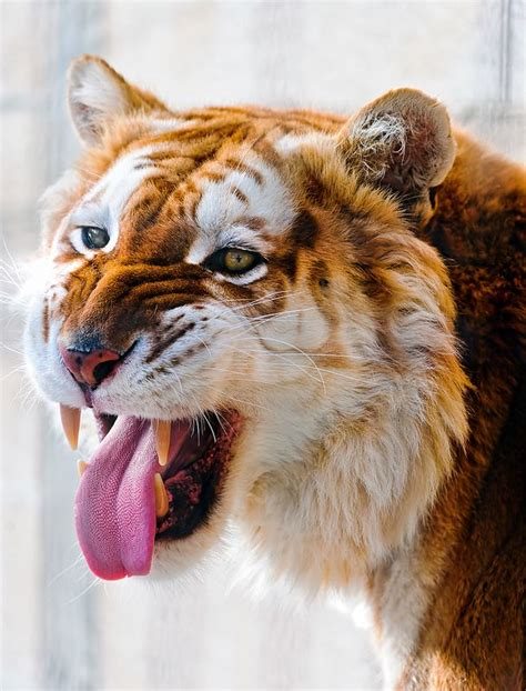 Source Taildom Golden Tigers Which Are Also Famously