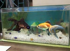Black Moor Goldfish Tank