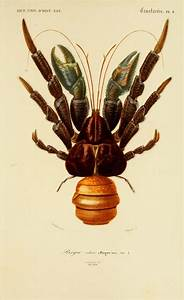 The Coconut Crab  U2013 A Giant Land Crustacean