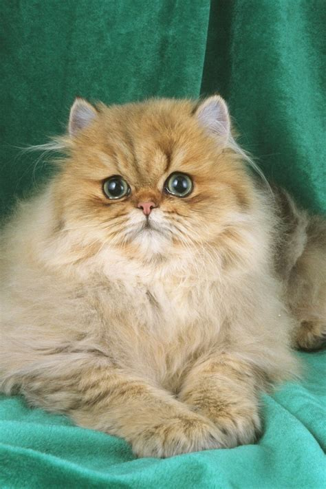 Health Problems In Persian Cats  Annie Many