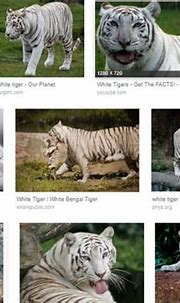 Japan: Zookeeper mauled to death by rare white tiger ...