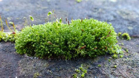Images Of Moss Free Photo Moss Lichen Green Nature Free