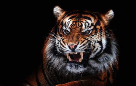 wallpaper eyes  face close  tiger portrait