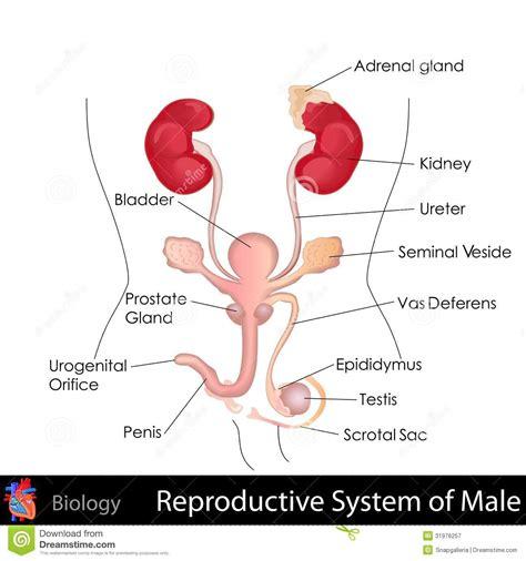 le mont de venus chez la femme appareil reproducteur masculin carabiens le forum