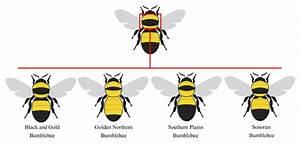 Native Pollinators  U0026 Private Lands  Bumble Bee Identification