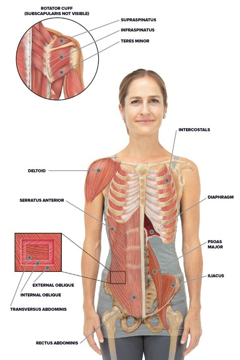 The first seven are connected behind with the vertebral column. Rib Cage Muscles / Thoracic Muscles Attachments Actions ...