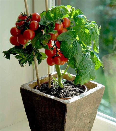 tiny vegetables tiny tim miniature heirloom tomato 25 seeds teeny fruit patio plant container plant