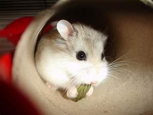 Cutest Dwarf Hamster In The World | www.pixshark.com ...