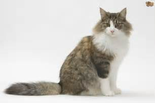 forest cat breeder forest cat cat breed information buying advice