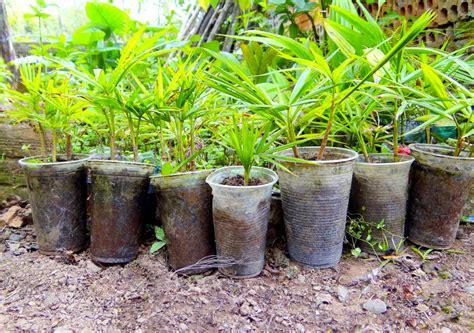 palmen vermehren diese moeglichkeiten gibt es