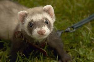 Reason Why Ferrets Make Good Pets