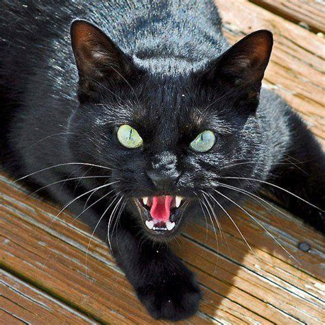 Angry Black Cat Green Eyes
