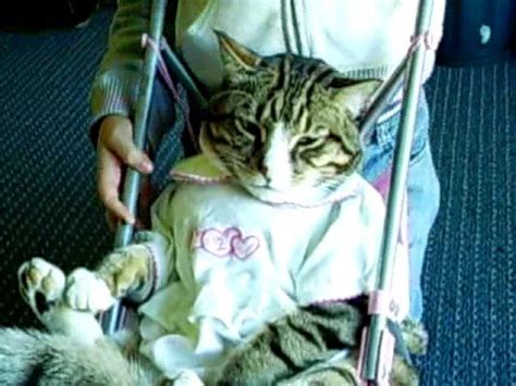funny cat  pink stroller dressed  boy youtube