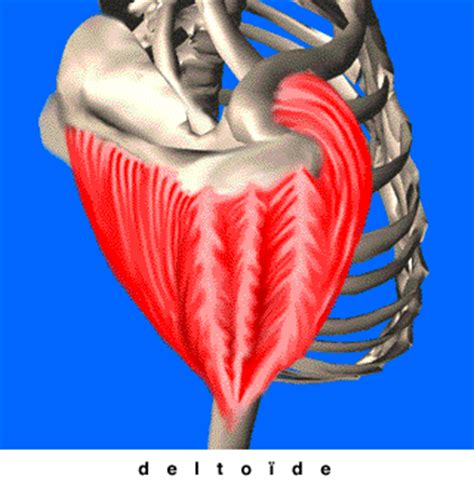 travail en bureau deltoïde anatomie et musculation