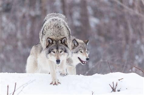 Wolves in Winter Scenes