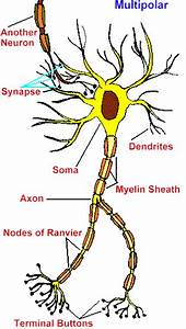 Ch 11 Types Of Neurons