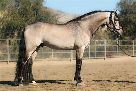 andalusian buckskin don horse divo horses gambler