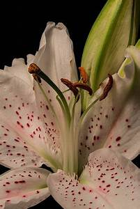 1000 Images About Garden Lily Flower On Pinterest